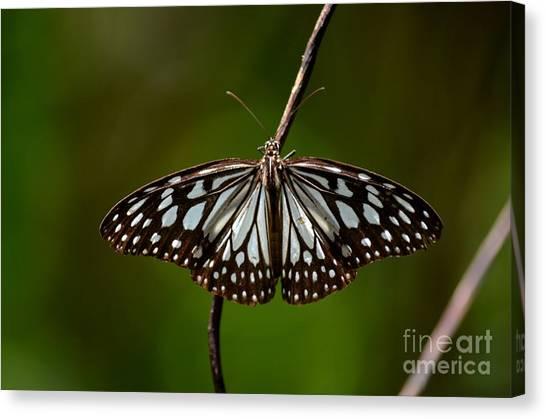 Dark Glassy Tiger Butterfly On Branch Canvas Print