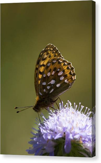 Dark Green Fritillary Canvas Print
