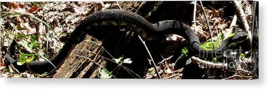 Timber Rattlesnakes Canvas Print - Black Rattlesnake by Joshua Bales