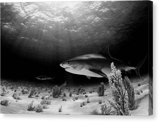 Shark Canvas Print - Dark Tiger by Ken Kiefer