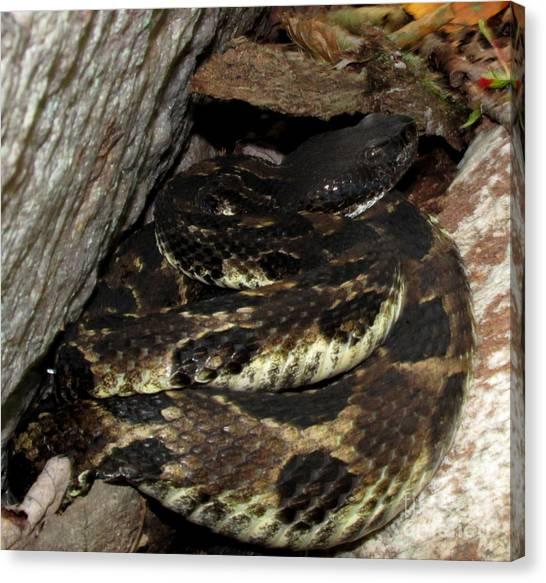Timber Rattlesnakes Canvas Print - Dark Viper by Joshua Bales