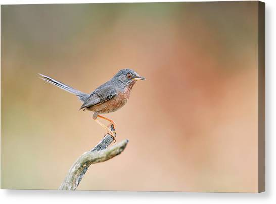 Warblers Canvas Print - Dartford Warbler by Dr P. Marazzi