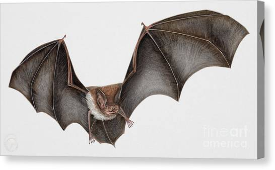 Daubentons Bat Myotis Daubentonii - Murin De Daubenton-murcielago Ribereno-vespertilio Di Daubenton Canvas Print