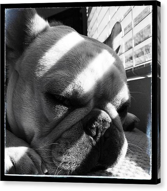 Bacon Canvas Print - Dave Chilling In Sunshine #frenchie by Neil Bacon