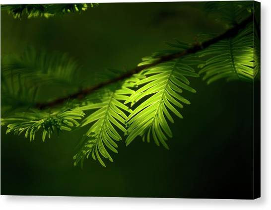 Canvas Print - Dawn Redwood Foliage by Simon Fraser/science Photo Library