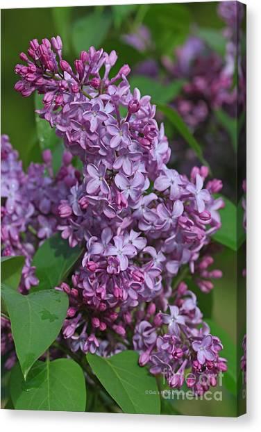 Dawns Lilacs Canvas Print