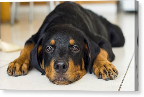 Rottweilers Canvas Print - Day Dreaming by Aged Pixel