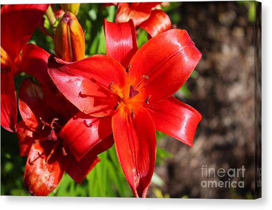 Day Lilly Canvas Print