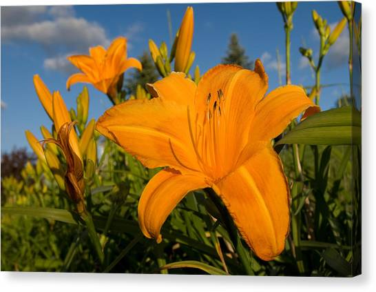 Day Lily Time Canvas Print