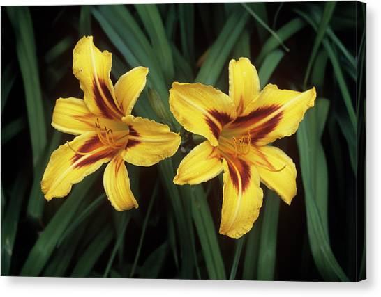 Daylily Canvas Print - Daylilies (hemerocallis 'bonanza') by Tony Wood/science Photo Library