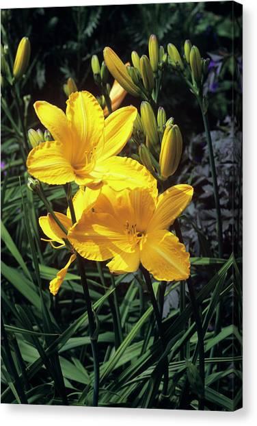 Daylily Canvas Print - Daylilies (hemerocallis 'cartwheels') by Tony Wood/science Photo Library