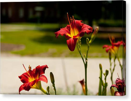 University Of North Carolina Wilmington Uncw Canvas Print - Daylilies On A Summer Tuesday by Louis Shackleton