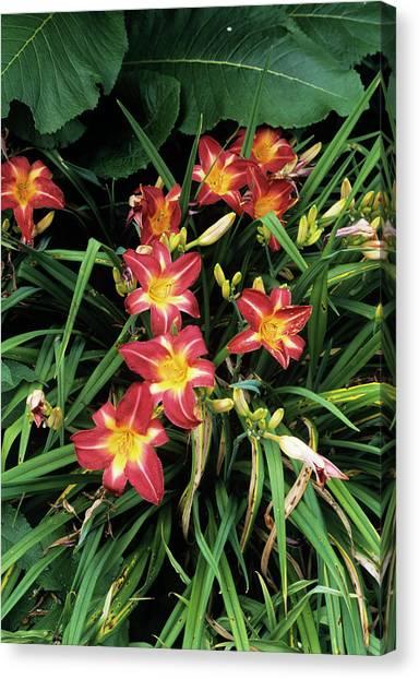 Daylily Canvas Print - Daylily Flowers by Jim D Saul/science Photo Library