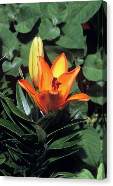 Daylily Canvas Print - Daylily (hemerocallis 'orange Pixie') by Tony Wood/science Photo Library