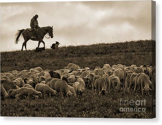 Days End Sheep Herding Canvas Print
