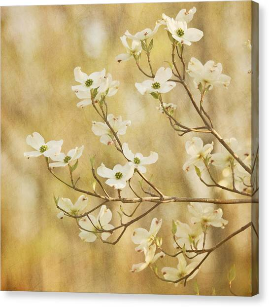 Days Of Dogwoods Canvas Print