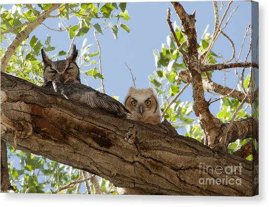 Daytime Roost Canvas Print