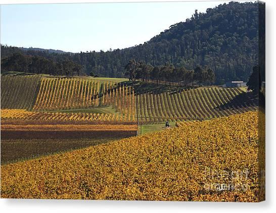 golden vines-Victoria-Australia Canvas Print
