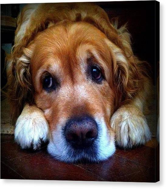 Labrador Retrievers Canvas Print - Dealing With Manipulative Dogs by Pedro Miranda