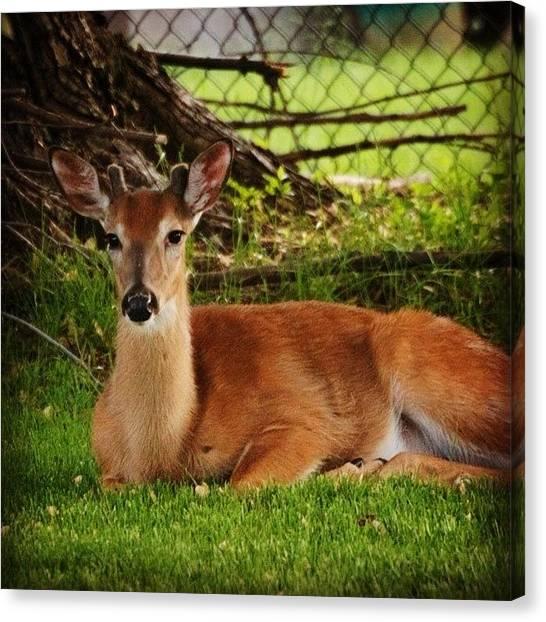 Wildlife Canvas Print - Dear Deer by Heidi Hermes
