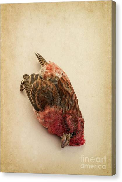 Crossbill Canvas Print - Death Of The Innocent by Edward Fielding