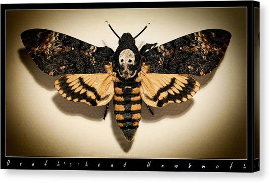 Silence Of The Lambs Canvas Print - Deaths Head Hawk Moth Framed Version by Weston Westmoreland