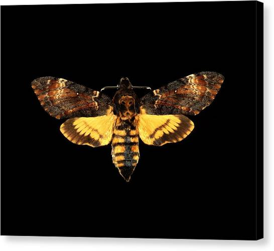 Silence Of The Lambs Canvas Print - Death's-head Hawk Moth by Science Photo Library