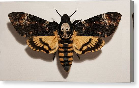 Silence Of The Lambs Canvas Print - Deaths Head Hawk Moth by Weston Westmoreland