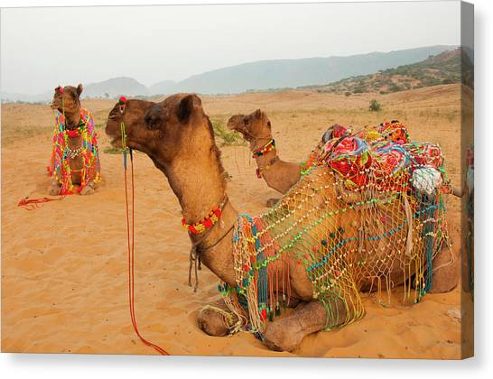 Thar Desert Canvas Print - Decorated Camels, Pushkar, Rajasthan by Inger Hogstrom