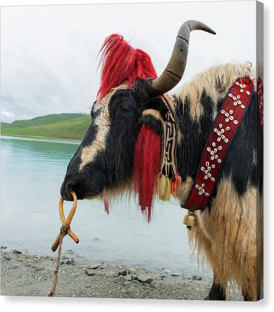 Yak Canvas Print - Decorated Yak by Keith Levit / Design Pics