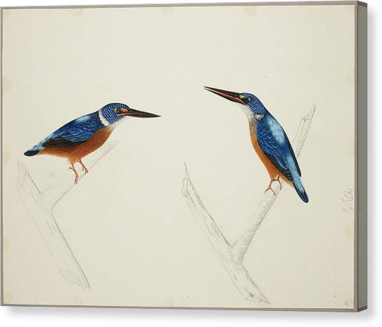 Kingfisher Canvas Print - Deep Blue Kingfisher by British Library