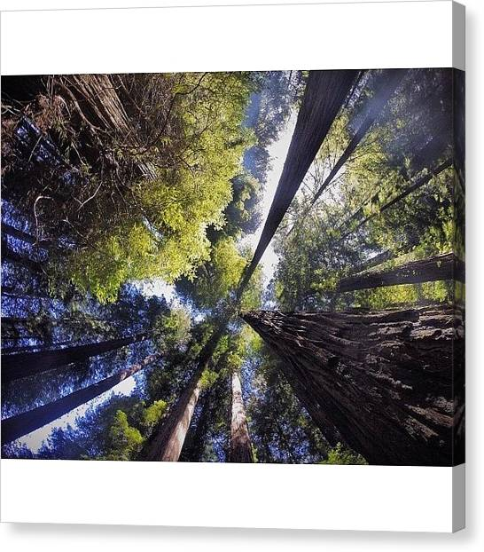 Redwood Forest Canvas Print - Deep Breaths by Michael Gilan