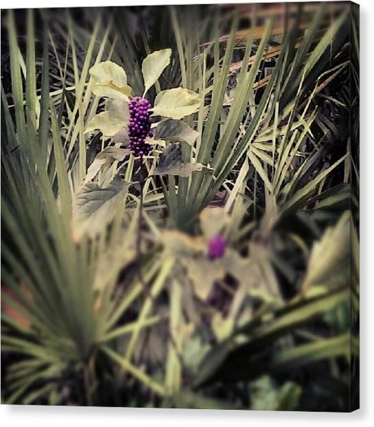 Deep Purple Berries Canvas Print by Chasity Johnson