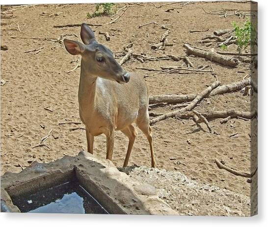 Deer At Waterhole Canvas Print by Judith Russell-Tooth
