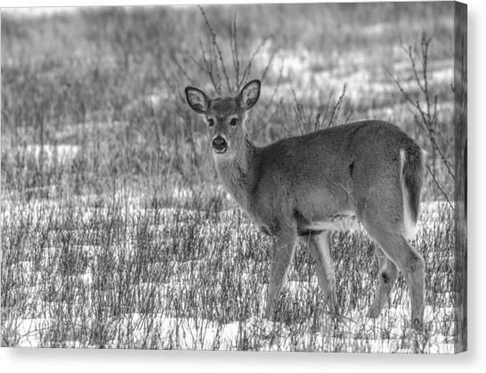 Brian Rock Canvas Print - Deer In Winter by Brian Rock