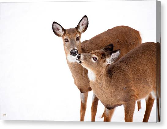 Deer Canvas Print - Deer Kisses by Karol Livote