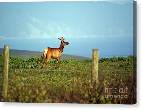 Deer On The Rune Canvas Print