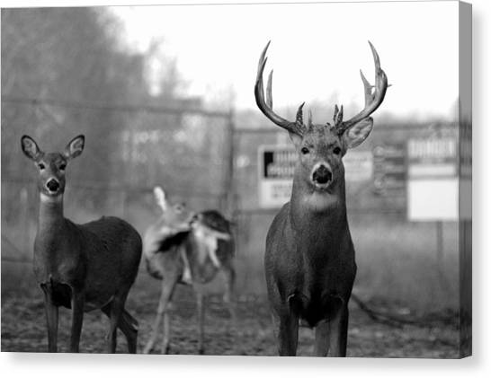 Deer Trio Canvas Print