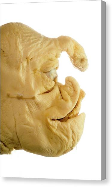 Cyclops Canvas Print - Deformed Piglet by Daniel Sambraus/science Photo Library