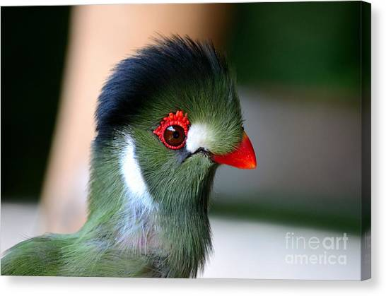 Delicate Green Turaco Bird With Red Beak White Patches And Black Crown Canvas Print