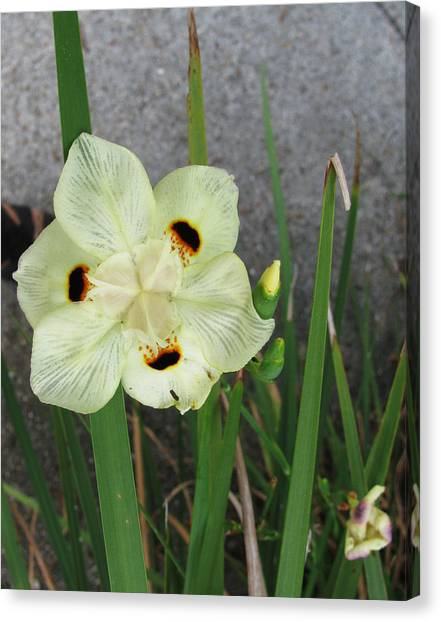Delicate Iris Canvas Print by Tom Hefko