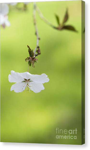 Fruit Trees Canvas Print - Delicate  by Tim Gainey
