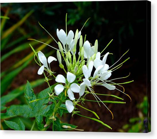 Delicate White Beauty  Canvas Print by Judith Russell-Tooth