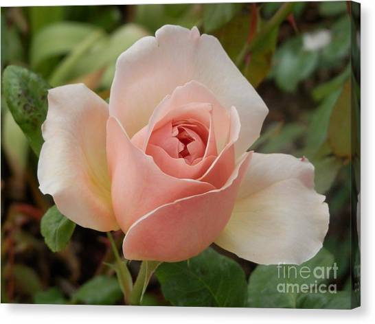 Delicately Pink Canvas Print by Margaret McDermott