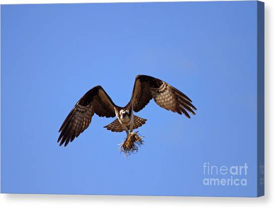 Osprey Canvas Print - Delivery By Air by Mike  Dawson
