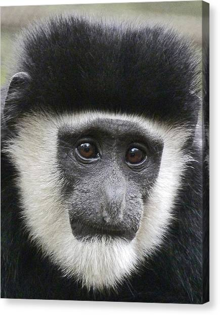 Demure Young Black And White Colobus Canvas Print