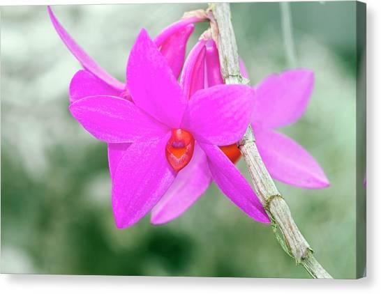 Dendrobium Glomeratum 'qingyu' Canvas Print by Sam K Tran/science Photo Library