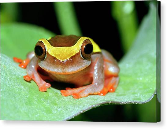 Amazon Rainforest Canvas Print - Dendropsophus Frog by Dr Morley Read/science Photo Library