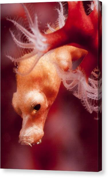 Denise's Pygmy Seahorse Canvas Print