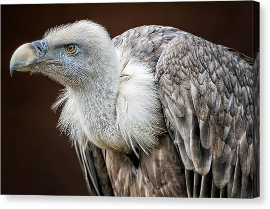 Vultures Canvas Print - Der Blick by Thewesm